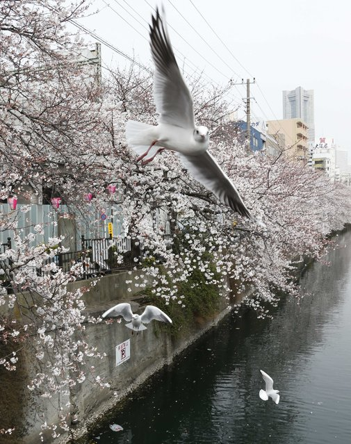 Seagulls fly over blooming cherry blossoms along the Oka river in Yokohama, Japan, on March 24, 2013. (Photo by Koji Sasahara/AP Photo)