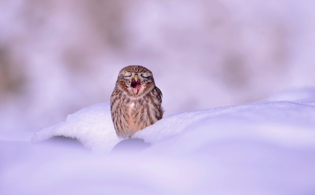 A small owl yawns as it sits in the snow in Ansung City, Gyeonggi province, South Korea, 04 December 2014.  (Photo by Kim Jae-Sun/EPA)