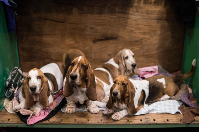 Basset Hounds relax in their pen on the second day of the Crufts dog show at the National Exhibition Centre in Birmingham, central England, on March 9, 2018. (Photo by Oli Scarff/AFP Photo)
