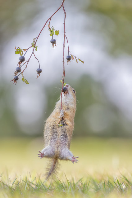 A European ground squirrel does everything to get these rose hips – and I can tell you that it seemed to have fun climbing up there, Vienna, Austria, September, 2015. (Photo by Henrik Spranz/Barcroft Images/Comedy Wildlife Photography Awards 2016)