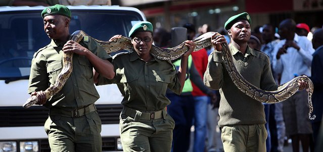 National Park rangers  carry a live python during  Zimbabwe's first  ever Carnival in Harare, on May 25, 2013. (Photo by Tsvangirayi Mukwazhi/Associated Press)