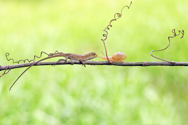 An oriental garden lizard and snail face each other on a branch on December 21, 2014, in Jakarta, Indonesia. (Photo by Andri Priyadi/Barcroft Media)