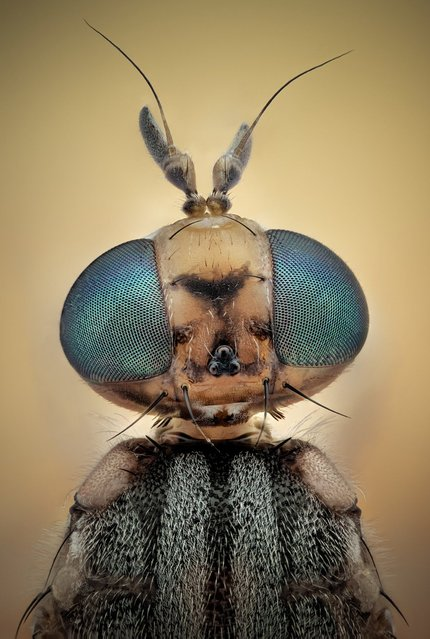 This fruit fly appears to pose for a portrait. (Photo by Javier Ruperez/Solent News & Photo Agency)