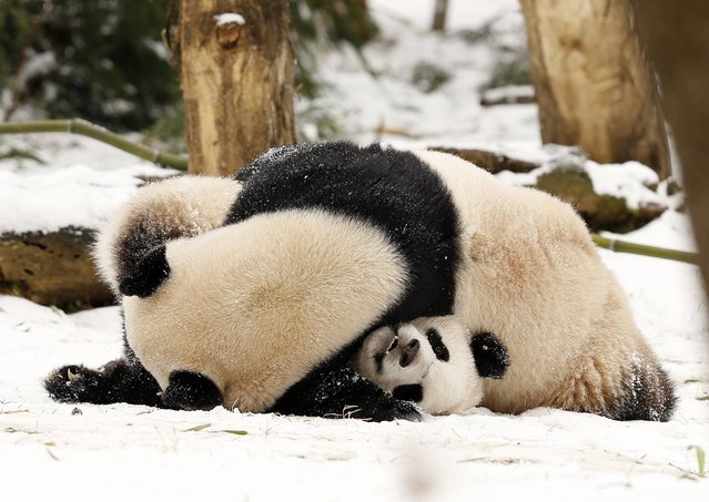 Giant Panda mom Mei Xiang (top) pins her cub Bao Bao (bottom) during a wrestling match in the snow at the Smithsonian National Zoo in Washington January 27, 2015. A blizzard swept across the northeastern United States on Tuesday, dropping as much as 2 feet (60 cm) of snow across Massachusetts and Connecticut even as its impact on New York City fell short of dire predictions. (Photo by Gary Cameron/Reuters)