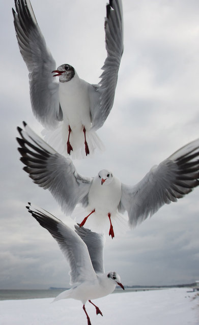 Seagulls fly at a beach  at the  Baltic Sea town of Karlshagen, eastern Germany, Tuesday February 3, 2015. Weather forecasts predict changeable weather. (Photo by Stefan Sauer/AP Photo/DPA)