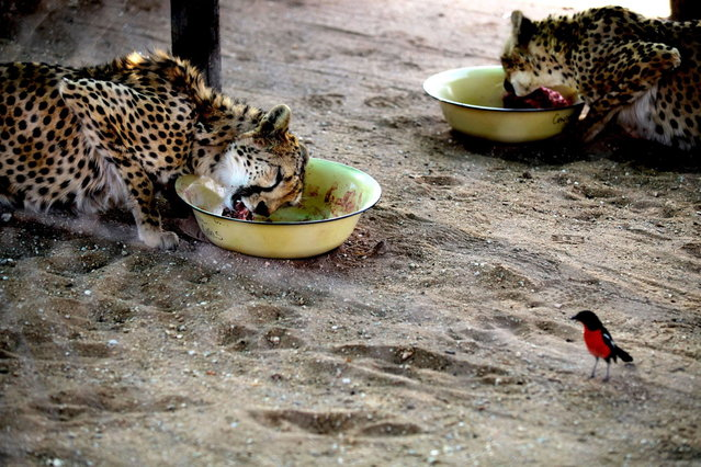 Young cheetahs eat meat at The Cheetah Conservation Fund (CCF) center in Otjiwarongo, Namibia, on August 13, 2013. The CCF started breeding Anatolian livestock dogs to promote cheetah-friendly farming after some 10,000 big cats – the current total worldwide population – were killed or moved off farms in the 1980s.  Up to 1,000 cheetahs were being killed a year, mostly by farmers who saw them as livestock killers. But the use of dogs has slashed losses for sheep and goat farmers and led to less retaliation against the vulnerable cheetah. (Photo by Jennifer Bruce/AFP Photo)