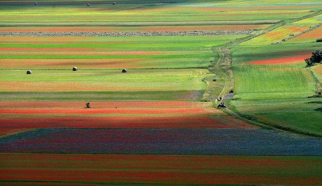 This picture taken on July 5, 2018 shows blooming lentil fields and poppies flowers near Castelluccio, a small village in central Italys Umbria region. (Photo by Tiziana Fabi/AFP Photo)