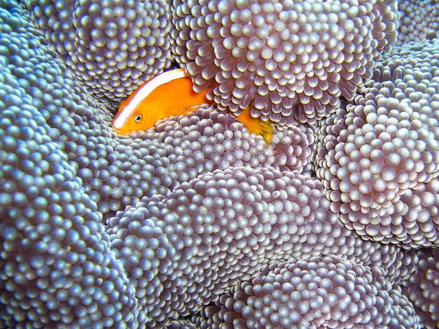 Racing Stripe Anemone Fish Engulfed. (Photo by David M. Hogan)