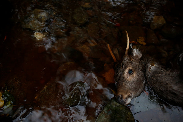 Blood flows from the body of a dead deer in a forest creek outside Oi, Fukui Prefecture, Japan, November 17, 2016. (Photo by Thomas Peter/Reuters)