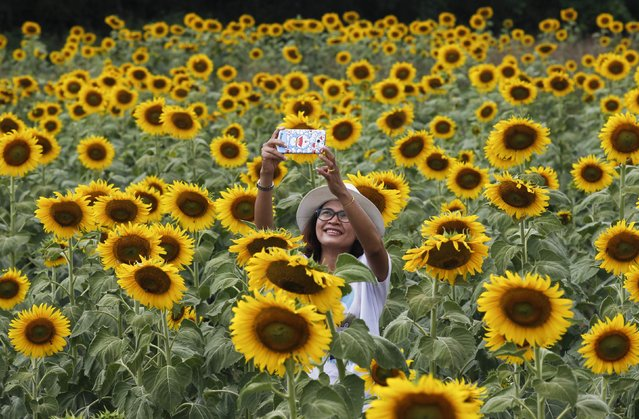 "A woman takes a ""selfie"" at a sunflower field in Lopburi province, north of Bangkok, in this November 2, 2014 file photo. (Photo by Chaiwat Subprasom/Reuters)"