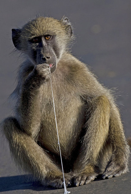 This young baboon was fascinated when it found a discarded lump of chewing gum, in the Kruger National Park, South Africa. Photographer Mark Chertkow, who was driving, stopped and quickly snapped the ape as it pulled on the gum, appearing to taste it. (Photo by Mark Chertkow/Solent News/Splash News)