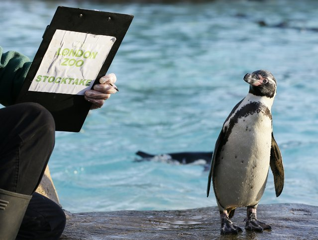 A penguin looks at a keeper's clipboard during a stocktake at London Zoo, Thursday, January 2, 2014. (Photo by Kirsty Wigglesworth/AP Photo)