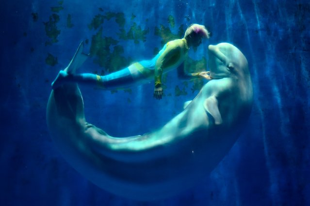 White whales and their trainers present a show for visitors at Harbin Pole Aquarium on January 7, 2014 in Harbin, China. Aquarium is one of the tourist highlights of Harbin, attract domestic and foreign tourists visit each year. (Photo by Lintao Zhang/Getty Images)