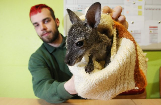 """Michael Engelmann, director of the Koethen Zoo, holds up kangaroo joey """"Muffin"""" in Koethen, Germany, 03 March 2016. The ten-week-old Bennett's tree-kangaroo fell from its mother's pouch in mid-February in the Koethen Zoo. Because it can't return, its now growing up in a pillowcase as a replacement for a maternal pouch. (Photo by Sebastian Willnow/EPA)"""