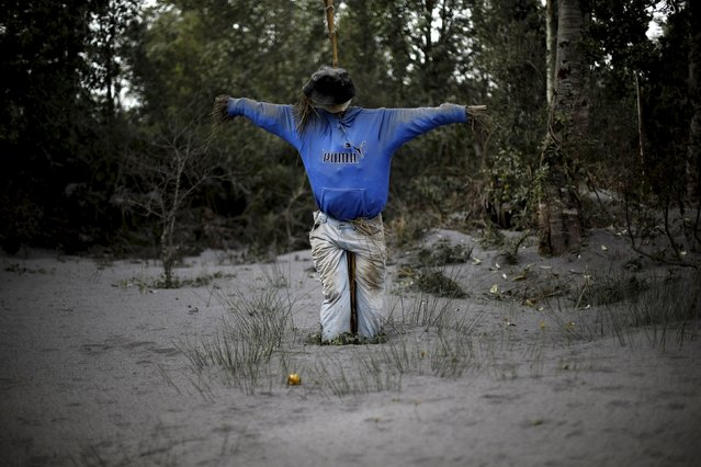 A scarecrow is seen in a backyard of a house nearby Ensenada which is covered with ashes from Calbuco Volcano, April 27, 2015. Massive cleanup efforts continue in Chile after volcano Calbuco erupted without warning last week. Calbuco has spewed 210 million tonnes of ashes in the immediate surroundings, according to the National Service of Geology and Mining, coating nearby towns and prompting the evacuation of more than 6,500 locals. (Photo by Ivan Alvarado/Reuters)