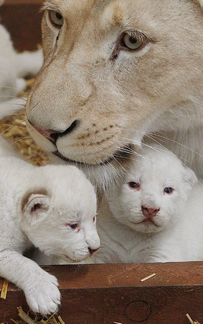 White lioness Azira lies in their cage with two of her three white cubs that were born last week in a private zoo in Borysew, in central Poland, on Tuesday, February 4, 2014. Zoo owner Andrzej Pabich says white lions often have defects the prevent giving birth, or the mother rejects her cubs, but two and a half-year-old Azira has been patiently feeding and caring for her little ones, as three and a half-year-old Sahim, who fathered them, watches from a neighboring cage. (Photo by Czarek Sokolowski/AP Photo)