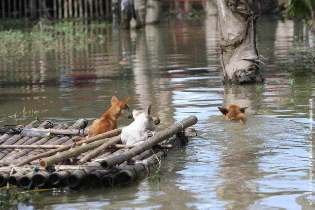 A couple of dogs sit on a raft as another paddles as flash floods hit the Southern Philippines, on June 2, 2010 in Sultan Kudart in Maguindanao Province, Philippines