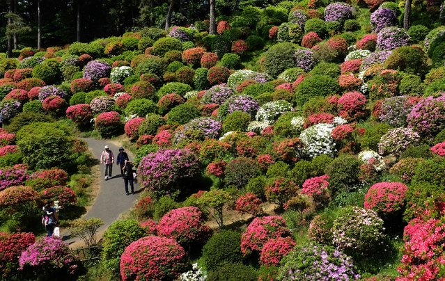Visitors stroll through a garden with colourful azalea bushes in full bloom at Shiofune-kannonji temple in Ome City, Tokyo on May 3, 2015. During the azalea festival, thousands of people come to enjoy the view. (Photo by Kazuhiro Nogi/AFP Photo)