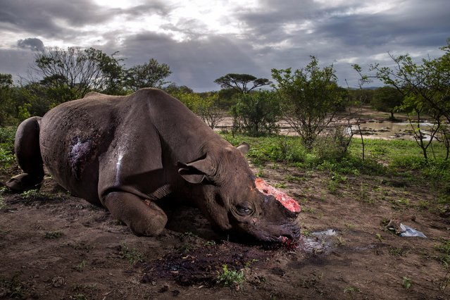 A handout photo made available by the World Press Photo (WPP) organization on 13 February 2017 shows a picture by Getty Images for National Geographic Magazine photographer Brent Stirton that won the Nature – First Prize, Stories award of the 60th annual World Press Photo Contest, it was announced by the WPP Foundation in Amsterdam, The Netherlands on 13 February 2017. Caption: A black rhino bull is seen dead, poached for its horns less than 8 hours earlier at Hluhluwe Umfolozi Game Reserve, South Africa. It is suspected that the killers came from a local community approximately 5 kilometers away, entering the park illegally, shooting the rhino at a water hole with a high-powered, silenced hunting rifle. An autopsy and postmortem carried out by members of the KZN Ezemvelo ranger team later revealed that the large caliber bullet went straight through this rhino, causing massive tissue damage. It was noted that he did not die immediately, but ran a short distance, fell to his knees and a coup de grâce shot was administered to the head from close range. Story: Inside Kruger National Park, the largest rhinoceros reserve in the world, along the border of Mozambique and South Africa, there exists a battle between poachers and small NGOs trying to protect this rare species. After crossing the border into Mozambique, the life expectancy for a rhinoceros is 24 hours. It is an environmental crisis, caused by Asia's upper class hunger for the horn, which is worth more than gold. The horn is part of an ancient Asian medical system and today is seen as a cure for everything from cancer to kidney stones. Essentially keratin, a mild alkaline substance identical to fingernails, the horn is ground down and then ingested by the sick and the wealthy of Vietnam and China, The imbiber hopes for a miracle cure, but science has shown that it has a placebo. (Photo by Brent Stirton/Getty Images for National Geographic Magazine/World Press Photo)