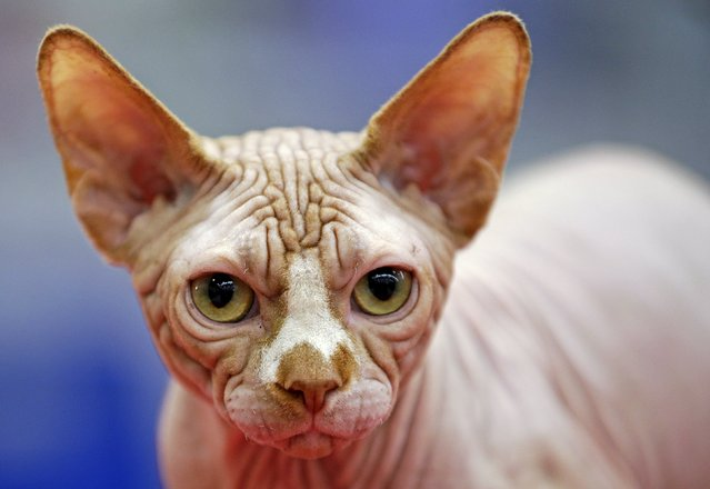 A Sphynx cat is seen during the Mediterranean Winner 2016 cat show in Rome, Italy, April 3, 2016. (Photo by Max Rossi/Reuters)