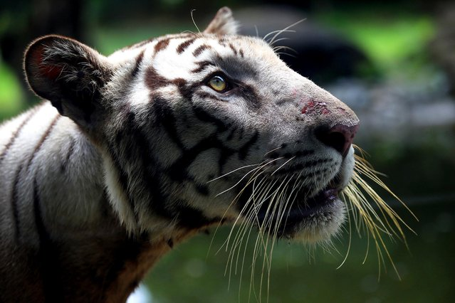 An Indian Royal Bengal tiger looks on at an enclosure on World Tiger Day at Alipore Zoo, Kolkata, India, 29 July 2019. Kolkata zoo authority added a new Tiger to the zoo for the visitors to mark the Tiger Day. Students of Kolkata are also taking part in an awareness campaign aiming to draw attention to the threats that tigers face due to habitat loss and poaching. (Photo by Piyal Adhikary/EPA/EFE)