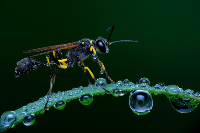 To capture a wasp standing on grass, Adiyanto discovered the best time to photograph the insects was around 6 in the morning, just after they woke. Kāʻanapali, Hawaii. (Photo by Eko Adiyanto/Smithsonian.com)