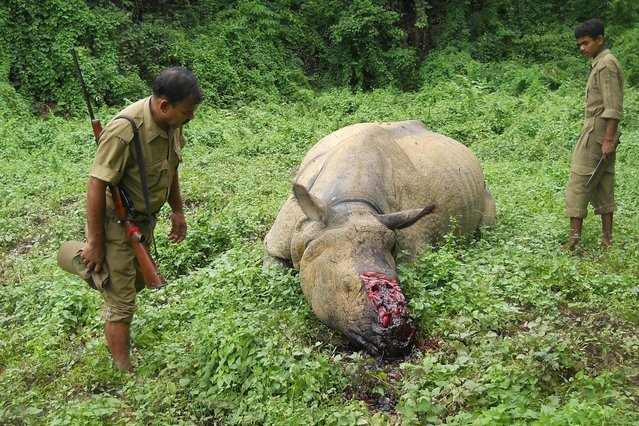 Indian forestry officials stand near the carcass of a one-horned rhinoceros which was killed and de-horned by poachers in Burapahar, a range of the Kaziranga National Park, some 250 kms east of Guwahati on June 29, 2015. Illegal rhino horn trade is one of the major environmental issued faced in the rhino-protected areas of Assam, with authorities reporting that some 12 one-horned rhinoceroses have been killed in the area in 2015. (Photo by AFP Photo)