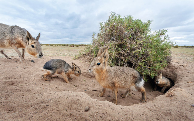 Creche call-up, Argentina. A Patagonian mara presents its bottom to its mother so she can sniff its identity. Once her twins are identified, she will suckle them near the communal den, fending off other hungry youngsters. Her mate keeps watch for predators. The rest of the creche go to ground immediately if an adult warns that an eagle or fox is about. More than 20 pairs have been known to den together. Such creche denning is unique among mammals and offers a greater chance of survival. (Photo by Darío Podestá/Unforgettable Behaviour/NHM)