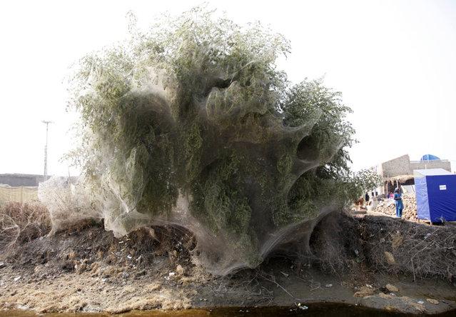 Spiderweb Cocooned Trees In Pakistan