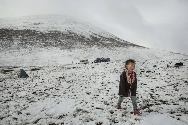 A Tibetan nomad boy walks at a temporary camp for cordycep harvesting after a fresh snowfall on the 15th day of Saka Dawa, the holiest day of the Buddhist calendar when it is prohibited to pick cordycep fungus on May 21, 2016 near Sershul on the Tibetan Plateau in the Garze Tibetan Autonomous Prefecture of Sichuan province. (Photo by Kevin Frayer/Getty Images)