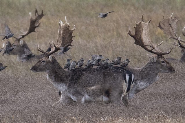 Starlings sit on the backs of fallow deer standing in the high grass of the nature reserve during drizzle in Moenchbruch near Frankfurt, Germany, Sunday, December 8, 2019. Also in the coming days the weather should show its uncomfortable side. Photo: (Photo by Boris Roessler/dpa via AP Photo)