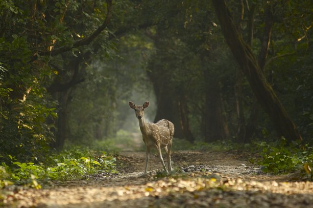 """The decisive moment"". This was taken in Bardia National Park, Nepal. It was early morning when I and the deer froze in our tracks and faced each other. I slowly got my camera into position, paused, took a deep breath and snapped just as it looked straight at me! This was a moment of silence, trust and surrender! Photo location: Bardia National Park, Nepal. (Photo and caption by Olivia Pino/National Geographic Photo Contest)"