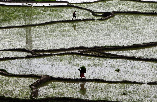 A Nepalese woman walks carrying paddy saplings before replanting them at a rice field in Chunnikhel, Katmandu, Nepal, Monday, June 30, 2014. The beginning of paddy cultivation in this Himalayan nation has been delayed this year due to the late arrival of the monsoon rains. (Photo by Niranjan Shrestha/AP Photo)