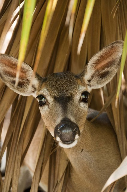 "Honorable Mention, Animals. ""Key Deer"". (Photo by Mirka Bolton/The Palm Beach Post)"