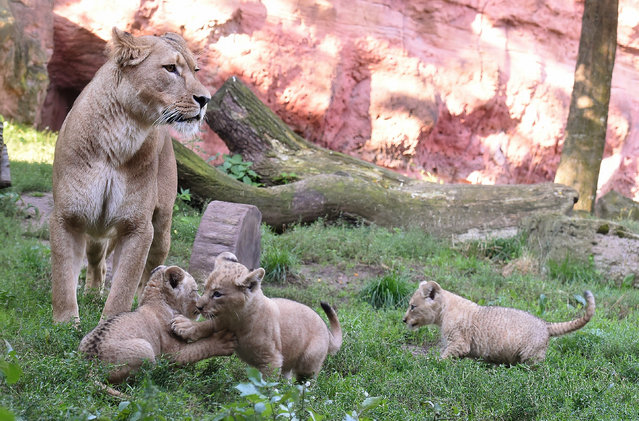 Three lion cups play while their mother guards the outdoor enclosure  at the zoo in Hannover , Germany, Thursday August 28,2014. The three lions were born on the first of July. (Photo by Holger Hollemann/AP Photo/DPA)