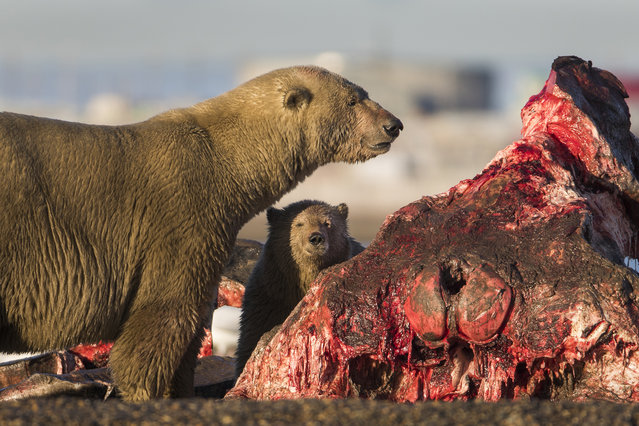 Polar bears prepare to feast on the remains of a bowhead whale, harvested legally by whalers during their annual subsistence hunt, just outside the Inupiat village of Kaktovik, Alaska, USA, 10 September 2017. (Photo by Jim Lo Scalzo/EPA/EFE)