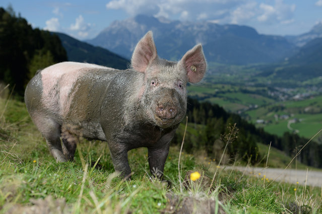 After a mud-bath a pig stands on a green meadow on an alp near Maria Alm, Austrian province of Salzburg, on Monday, September 8, 2014. Weather forecasts predict changeable weather during the next few days. (Photo by Kerstin Joensson/AP Photo)