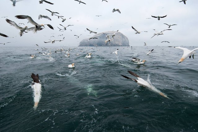Northern gannets diving for fish off their colony on Bass Rock, Scotland. (Photo by Zoltan Nagy/Wildscreen Photography Festival 2014)