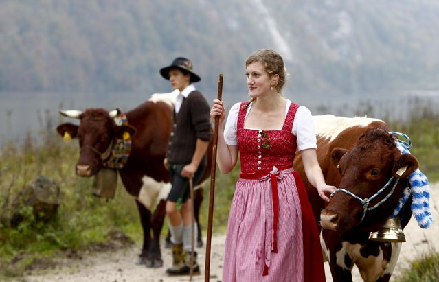 Almabtrieb is the ceremonial spectacle of driving down of cattle with colorful headdresses from the mountain pastures into the winter homes as a sign of an undamaged Alpine summer. Here: Bavarian farmers bring their cows to a boat to be transported over the picturesque Lake Koenigssee on October 6, 2014. (Photo by Michaela Rehle/Reuters)