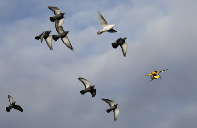 "A flock of pigeons flies with a prototype ""parcelcopter"" of German postal and logistics group Deutsche Post DHL in Bonn, December 9, 2013. (Photo by Wolfgang Rattay/Reuters)"