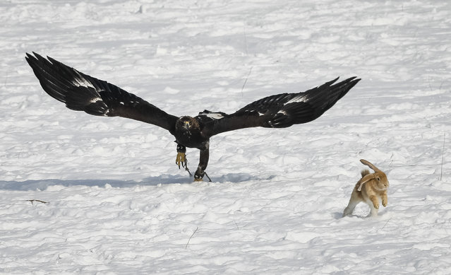 A tamed golden eagle chases a rabbit during an annual hunters competition at Almaty hippodrome, Kazakhstan February 9, 2018. (Photo by Shamil Zhumatov/Reuters)