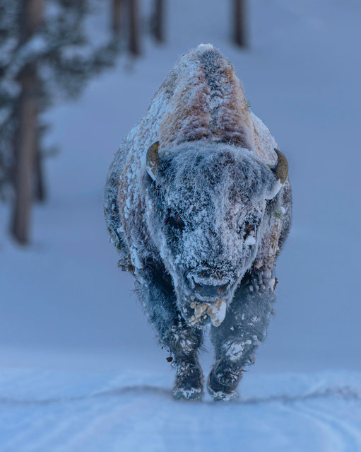 """""""Frosty Bison"""". Shot in Yellowstone national park, where winter temperatures range from –20 to –50C. (Photo by Laura Hedian/Royal Meteorological Society's Weather Photographer of the Year Awards)"""