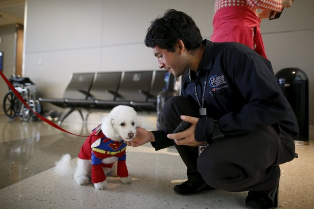 A therapy dog wears a Superman Halloween costume as part of a program to de-stress passengers at the international boarding gate area of LAX airport in Los Angeles, California, United States, October 27, 2015. (Photo by Lucy Nicholson/Reuters)