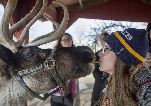 Jaymee Findlay, Cissna Park, uses her mouth to feed a graham cracker to Jack Frost, one of 12 reindeer at Hardy's Reindeer Ranch in Rantoul, Ill., on Monday December 1, 2014. Findlay was part of a group at the facility for the reindeer experience tour where visitors can feed, shoot photos, pet and learn about the animals. (Photo by Rick Danzl/AP Photos/News-Gazette)