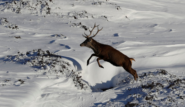 A red deer stag leaps in the snow in Glenshee, Scotland, Britain March 19, 2018. (Photo by Russell Cheyne/Reuters)
