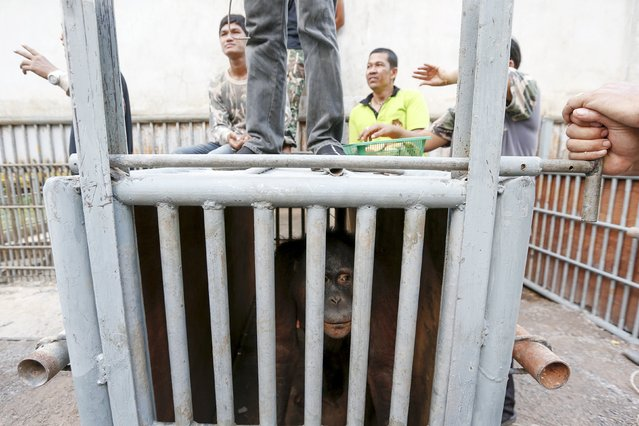 Thailand wildlife officers stand next to a cage holding orangutans during preparations for the apes' repatriation to Indonesia at Kao Pratubchang Conservation Centre in Ratchaburi, Thailand, November 11, 2015. (Photo by Athit Perawongmetha/Reuters)