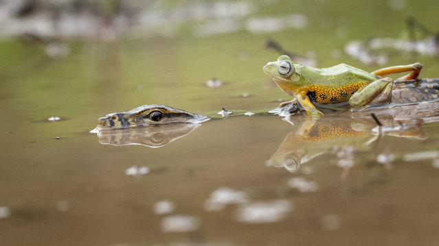 A flying frog cheekily clambers on top of a lizard in West Kalimantan, Indonesia. (Photo by Hendy Mp/Barcroft Media)