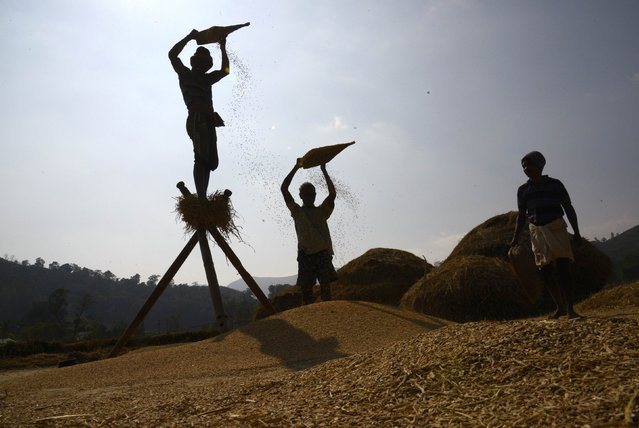 Farmers winnow paddy crops at a field in Gudem Kotha Veedhi village in the southern Indian state of Andhra Pradesh January 20, 2015. (Photo by R. Narendra/Reuters)