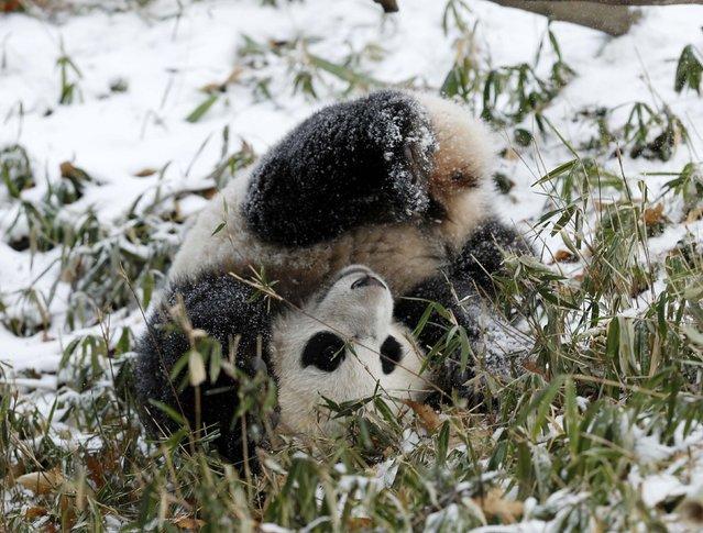 Panda cub Bao Bao tumbles through snow covered bamboo while playing at the Smithsonian National Zoo in Washington January 27, 2015. (Photo by Gary Cameron/Reuters)