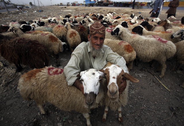 An Afghan refugee vendor waits for customers to sell his sheep at cattle market set up for the upcoming Muslim festival Eid al-Adha in Karachi, Pakistan, Thursday, August 16, 2018. Eid al-Adha, or Feast of Sacrifice, most important Islamic holiday marks the willingness of the Prophet Ibrahim (Abraham to Christians and Jews) to sacrifice his son. (Photo by Fareed Khan/AP Photo)